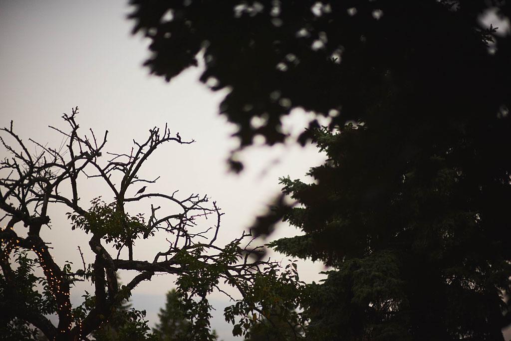 słowik na drzewie